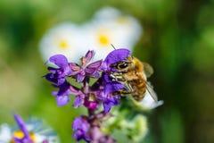 Foto del primer de una abeja La abeja de la miel recoge el primer del polen Foto de una abeja que se sienta en una flor violeta L Fotos de archivo libres de regalías