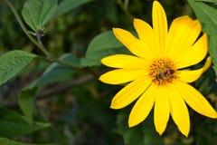 Foto del primer de una abeja que recolecta el néctar Imagen de archivo