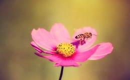 Foto del primer de una abeja y de una flor de la miel Foto de archivo libre de regalías