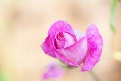 Foto del primer de una rosa Imagen de archivo libre de regalías