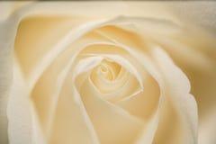 Foto del primer de una Rose blanca para el fondo o la textura Foto de archivo libre de regalías