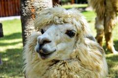 Foto del primer del ` s de la alpaca Imagenes de archivo