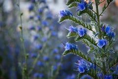 foto del primer del Suave-foco de flores azules Imagenes de archivo