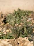 Foto del primo piano del cactus Immagini Stock