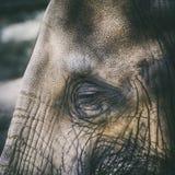 Foto del primo piano dell'occhio dell'elefante Fotografia Stock