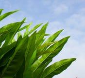 Foto del primo piano delle foglie verdi lunghe contro il sole ed il cielo blu Fotografia Stock