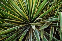 Foto del primo piano di agave verde e gialla appuntita Immagini Stock