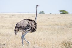 Foto del primo piano di bello uccello femminile dello struzzo che cammina nell'erba asciutta, parco nazionale di Etosha, Namibia, Immagini Stock Libere da Diritti