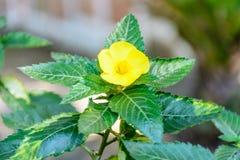 Foto del primo piano del fiore di damiana fotografie stock libere da diritti