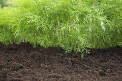 Foto del raccolto dell'aneto per l'affare di cucina di eco Erba, orto con le piante verdi dell'aneto Alimento biologico, spezia f Immagine Stock Libera da Diritti