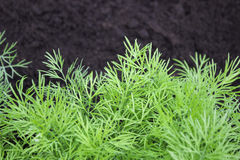 Foto del raccolto dell'aneto per l'affare di cucina di eco Erba, orto con le piante verdi dell'aneto Alimento biologico, spezia f Fotografie Stock