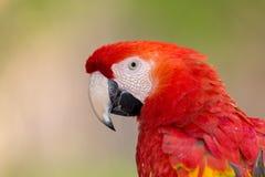 Foto del retrato de un Macaw del escarlata Foto de archivo libre de regalías