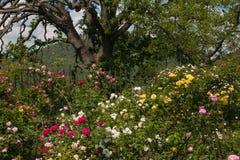 Foto del roble grande en la rosa que cultiva un huerto, estación de primavera Imagen de archivo