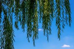 Foto del sauce hermoso en el fondo del cielo azul Fotografía de archivo