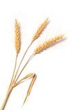 Foto del trigo en blanco Imagen de archivo libre de regalías