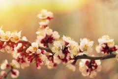 Foto del tronco blando de la flor de cerezo del albaricoque de la primavera en sol caliente suave fotos de archivo libres de regalías