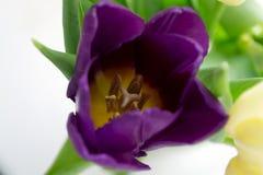 Foto del tulipano viola Fotografia Stock