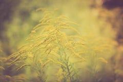 Foto del vintage de la floración amarilla oscura amarilla hermosa de las flores Fotografía de archivo
