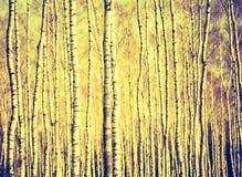 Foto del vintage de los troncos de árbol de abedul Imagen de archivo libre de regalías
