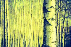 Foto del vintage de los troncos de árbol de abedul Fotos de archivo
