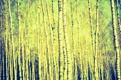 Foto del vintage de los troncos de árbol de abedul Fotografía de archivo