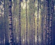 Foto del vintage del bosque del abedul Foto de archivo libre de regalías