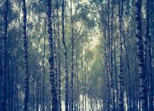 Foto del vintage del bosque del abedul Imagen de archivo libre de regalías