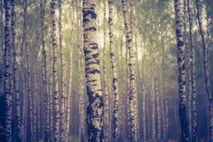 Foto del vintage del bosque del abedul Fotos de archivo