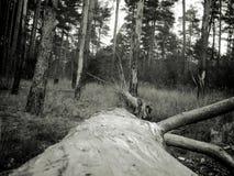 Foto del vintage del bosque del pino Imagen de archivo libre de regalías