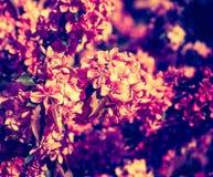 Foto del vintage del manzano floreciente del paraíso Fotografía de archivo