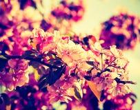 Foto del vintage del manzano floreciente del paraíso Fotos de archivo libres de regalías