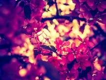 Foto del vintage del manzano floreciente del paraíso Fotos de archivo