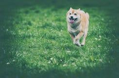 Foto del vintage del perro del inu del shiba Fotos de archivo libres de regalías