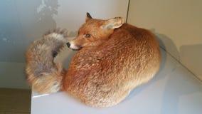 Foto del zorro rojo Foto de archivo