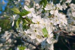 Foto dell'albero di fioritura di Crabapple con i fiori bianchi e del giallo su un bokeh verde del fondo Fotografia Stock Libera da Diritti
