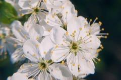 Foto dell'albero di fioritura di Crabapple con i fiori bianchi e del giallo su un bokeh verde del fondo Fotografie Stock