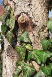 Edera sull'albero di abete Fotografie Stock