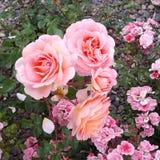 Foto della natura di estate dell'erba del giardino floreale della rosa di rosa fotografia stock