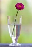 Foto della pratolina in vetro (fuoco sul fiore) fotografie stock