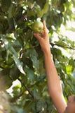 Foto della ragazza che raggiunge alta mela crescente Fotografie Stock