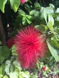 Foto delle azione del fiore di albizia julibrissin fotografia stock