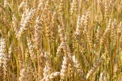 Foto delle punte di maturazione del grano nel campo Fotografie Stock Libere da Diritti