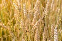 Foto delle punte di maturazione del grano nel campo Immagine Stock Libera da Diritti