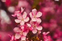 Foto der Apfelblüte Frühling, Sonnenschein, Glück lizenzfreies stockfoto