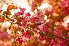Foto der Apfelblüte Frühling, Sonnenschein, Glück lizenzfreie stockbilder
