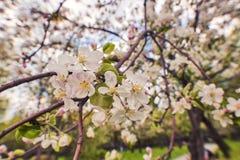 Foto der Apfelblüte Frühling, Sonnenschein, Glück stockfotos