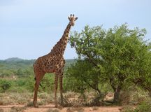 Foto der Giraffe in der Savanne. Stockfotografie