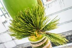 Foto der Knospe der Palme, adonidia merrillii Lizenzfreies Stockfoto