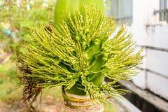 Foto der Knospe der Palme, adonidia merrillii Lizenzfreie Stockfotografie