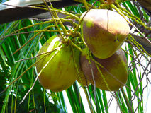 Foto der Kokosnuss Stockbild